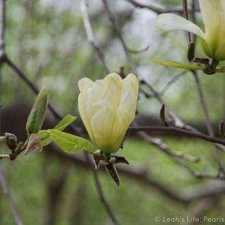 butter magnolia