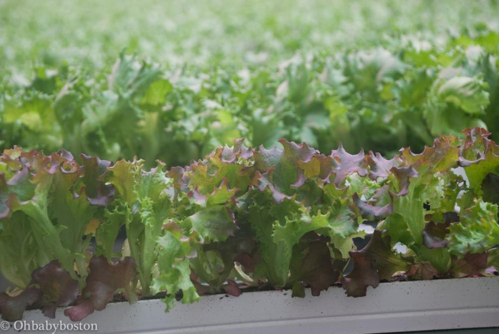 llf-lettuce-3