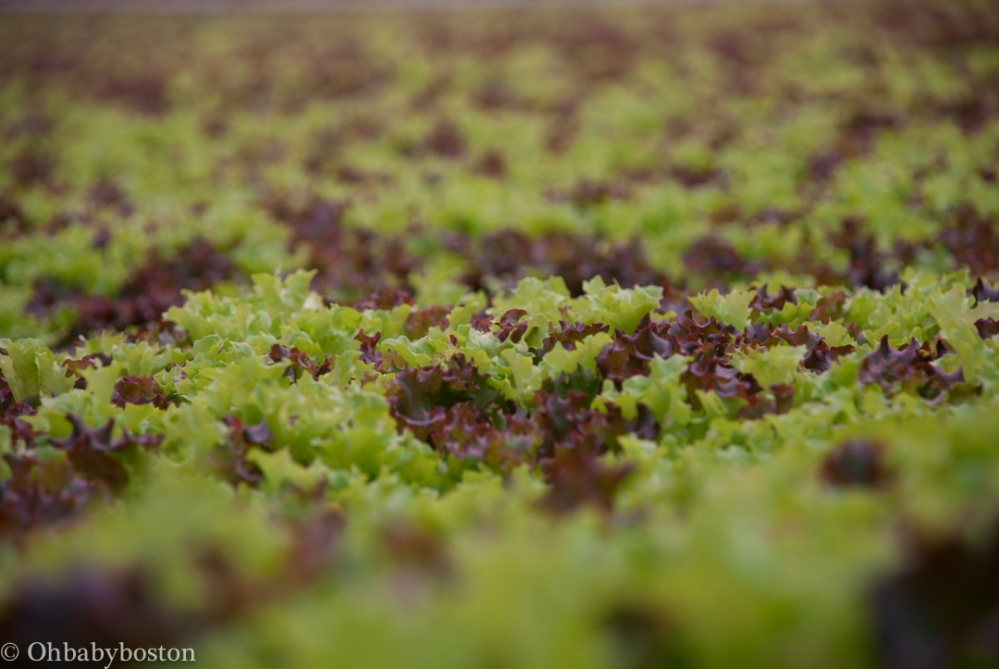 llf-lettuce-7